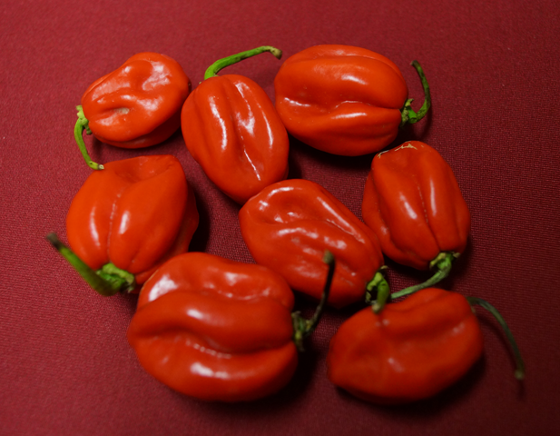Unsere Chilis: Habanero Red